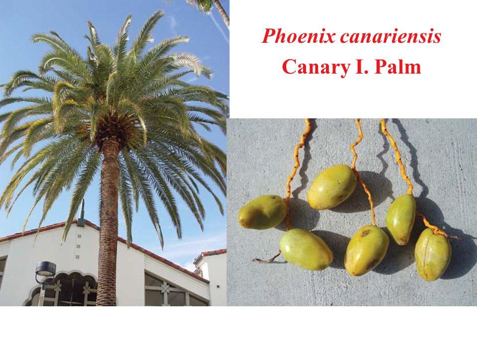 Phoenix canariensis Canary I. Palm
