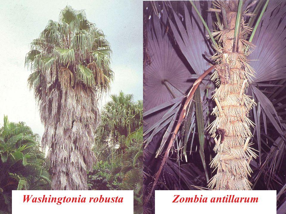 Washingtonia robustaZombia antillarum
