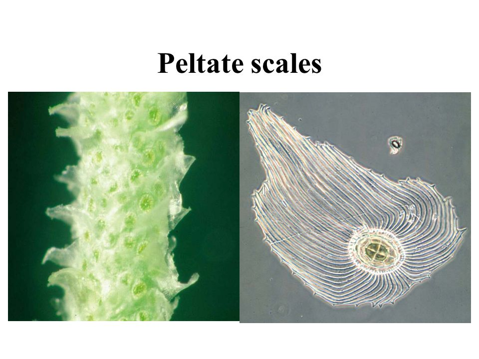Peltate scales