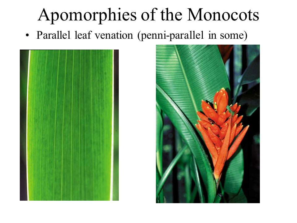Apomorphies of the Monocots Parallel leaf venation (penni-parallel in some)
