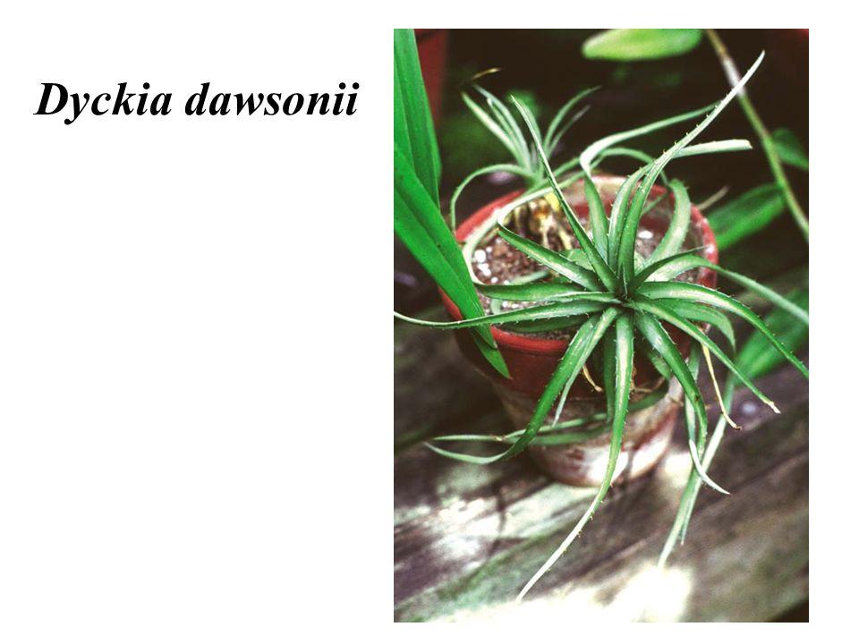 Dyckia dawsonii