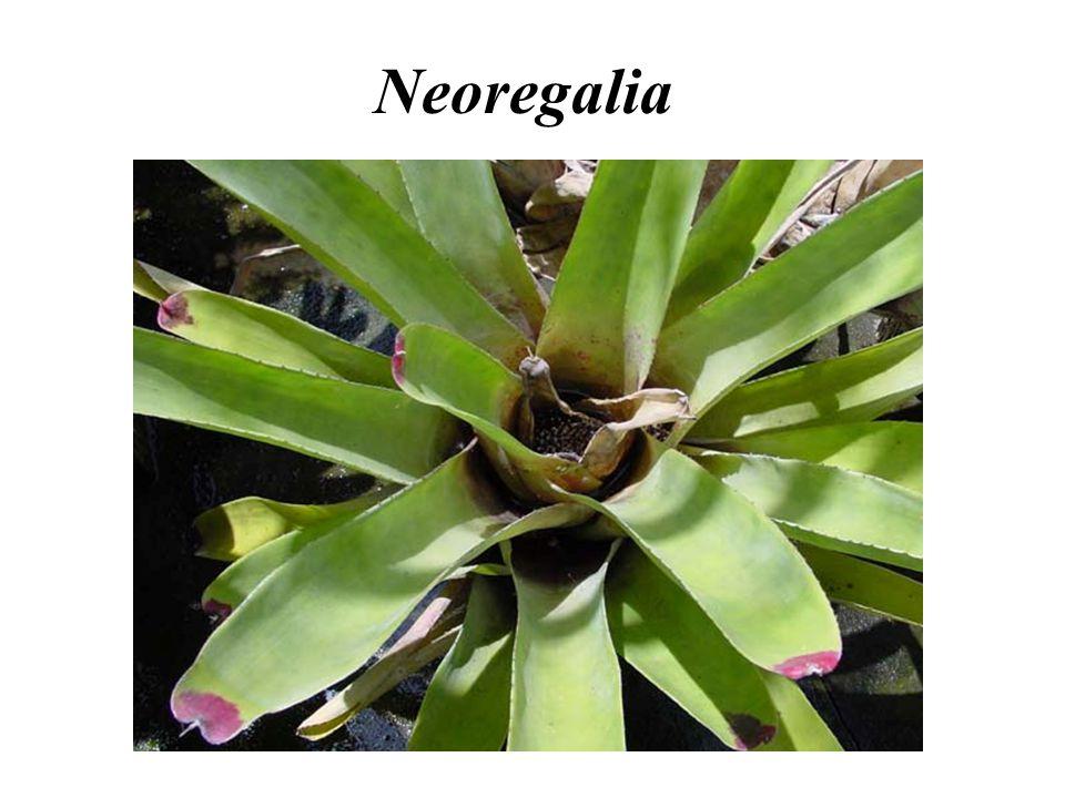 Neoregalia