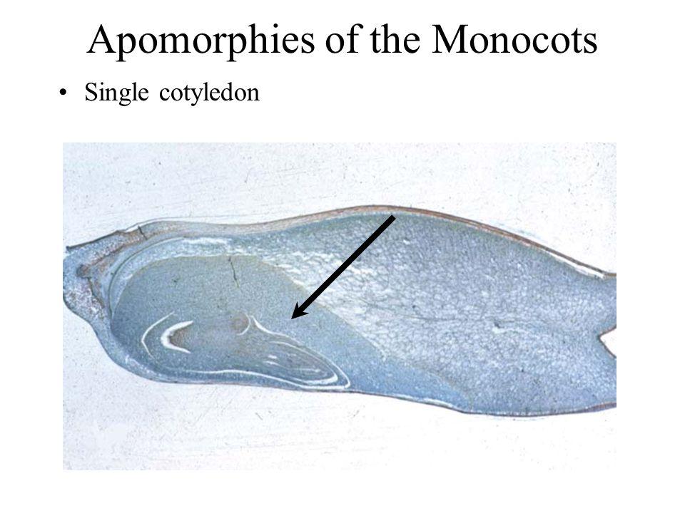 Apomorphies of the Monocots Single cotyledon