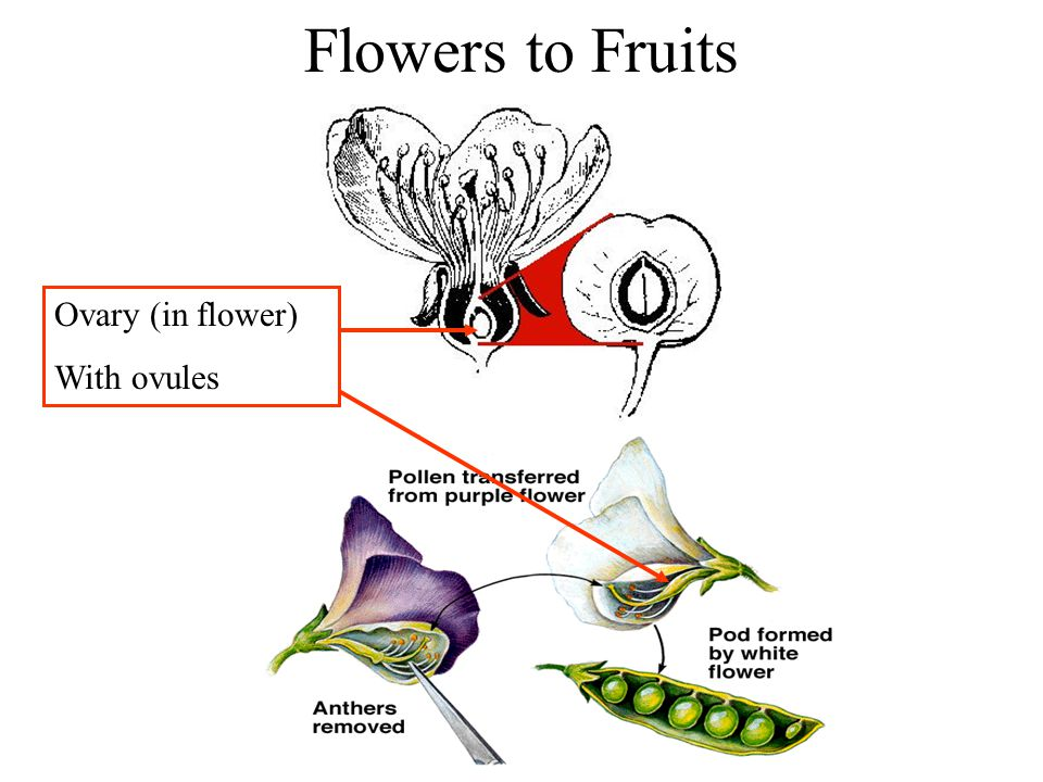 Flowers to Fruits Ovary (in flower) With ovules