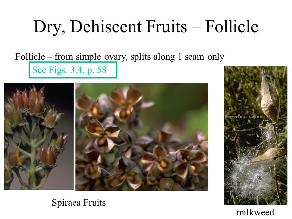 Dry, Dehiscent Fruits – Follicle Follicle – from simple ovary, splits along 1 seam only Spiraea Fruits milkweed See Figs. 3.4, p. 58