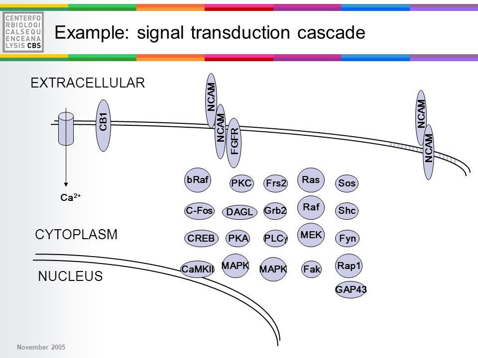 November 2005 Ras Raf MEK MAPK NUCLEUS CYTOPLASM EXTRACELLULAR Rap1 bRaf NCAM DAGL Ca 2+ Fyn FGFR CB1 NCAM Frs2 PLC  Shc Fak PKC PKA Grb2 Sos GAP43 CaMKII CREB C-Fos Example: signal transduction cascade