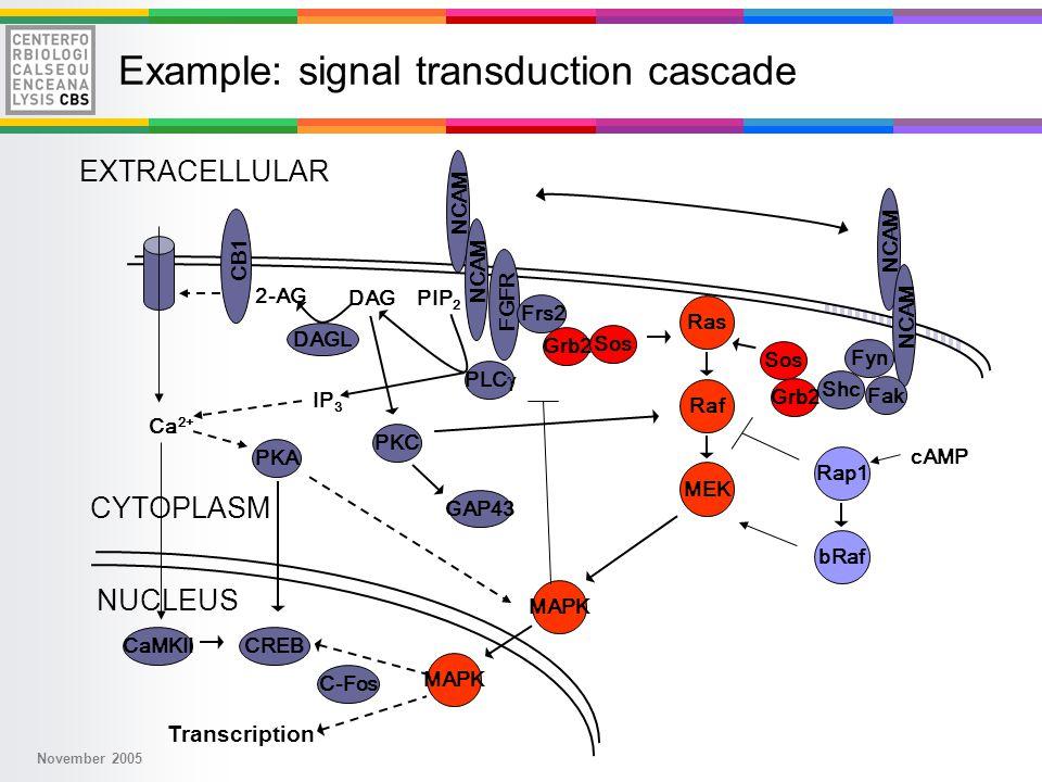 November 2005 Ras Raf MEK MAPK Transcription MAPK NUCLEUS CYTOPLASM EXTRACELLULAR cAMP Rap1 bRaf NCAM DAGL DAGPIP 2 2-AG Ca 2+ Fyn FGFR CB1 NCAM Frs2 PLC  Shc Fak PKC PKA IP 3 Grb2 Sos Grb2 Sos GAP43 CaMKIICREB C-Fos Example: signal transduction cascade
