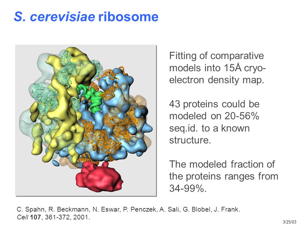 S. cerevisiae ribosome C. Spahn, R. Beckmann, N. Eswar, P. Penczek, A. Sali, G. Blobel, J. Frank. Cell 107, 361-372, 2001. Fitting of comparative mode