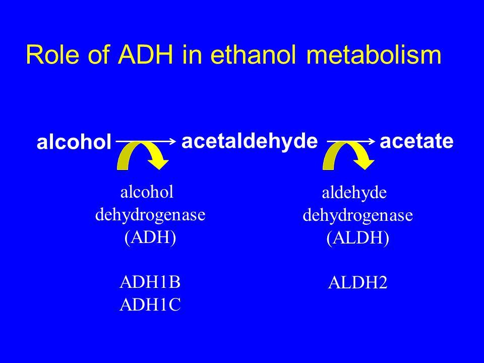 Role of ADH in ethanol metabolism alcohol acetaldehydeacetate alcohol dehydrogenase (ADH) ADH1B ADH1C aldehyde dehydrogenase (ALDH) ALDH2