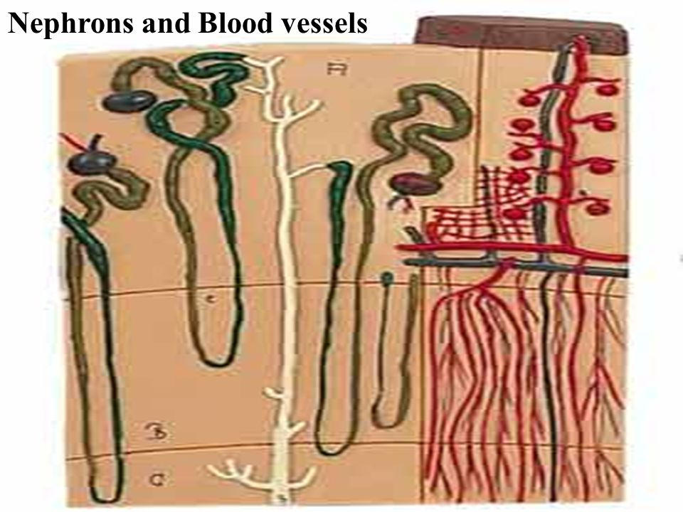 Nephrons and Blood vessels