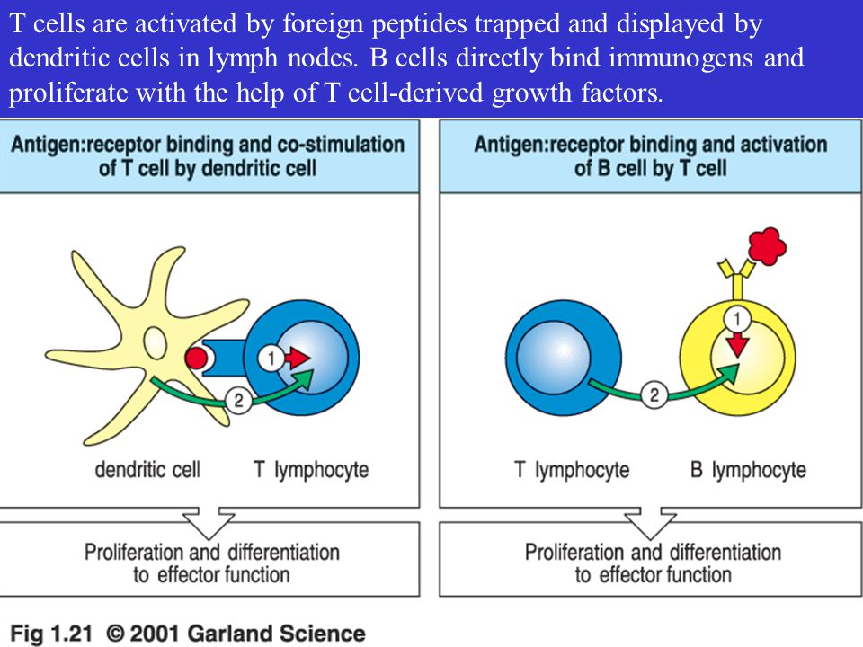 T cells are activated by foreign peptides trapped and displayed by dendritic cells in lymph nodes. B cells directly bind immunogens and proliferate wi