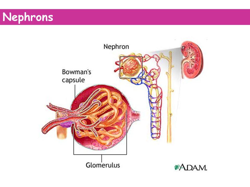 Nephrons