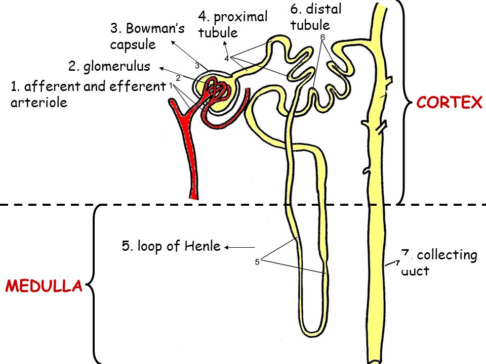 1. afferent and efferent arteriole 2. glomerulus 3. Bowman's capsule 4. proximal tubule 5. loop of Henle 6. distal tubule 7. collecting duct MEDULLA C