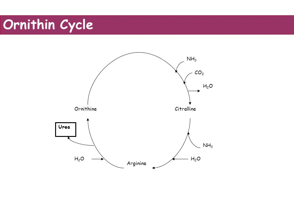OrnithineCitralline Arginine NH 3 CO 2 H2OH2O NH 3 H2OH2O Urea H2OH2O Ornithin Cycle
