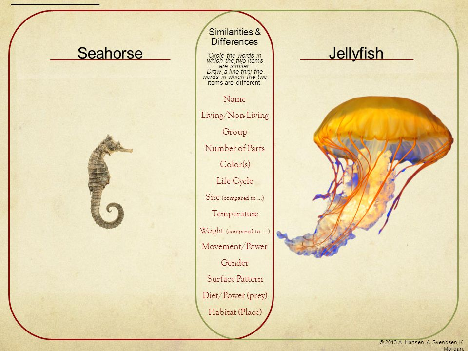 Living Cnidaria Hood/umbrella, tentacles, mouth arms Yellow, orange, white Egg – Larva – Polyp – Adult Large in size compared to a seahorse Cold blooded Light in weight compared to a seahorse Swims Male, female Solid color Plankton, crustaceans, fish eggs, small fish Ocean Similarities & Differences Circle the words in which the two items are similar.