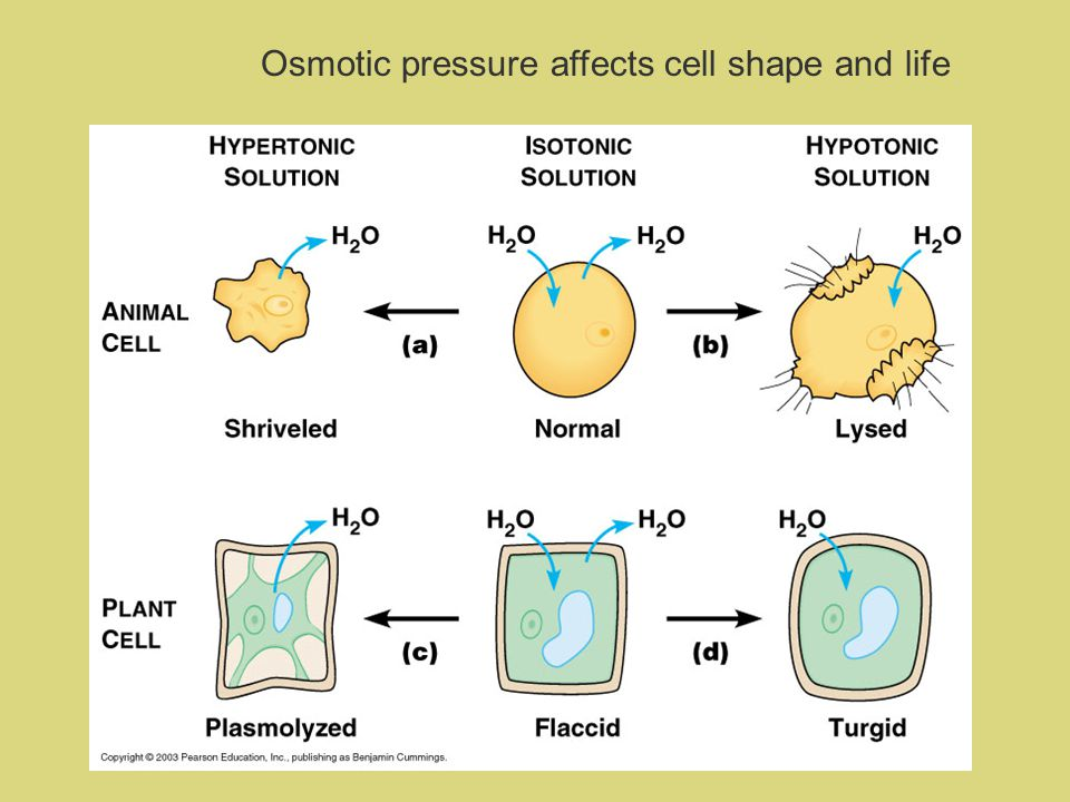 Osmotic pressure affects cell shape and life