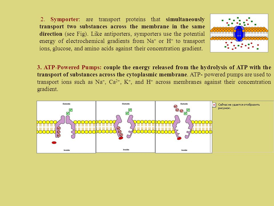 2. Symporter: are transport proteins that simultaneously transport two substances across the membrane in the same direction (see Fig). Like antiporter