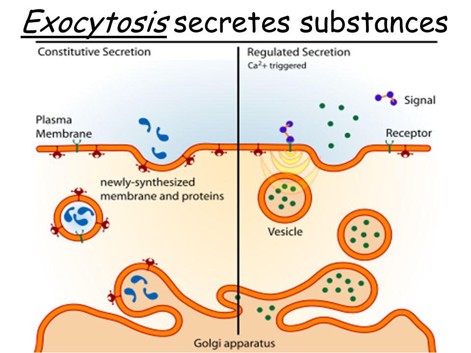 Exocytosis secretes substances