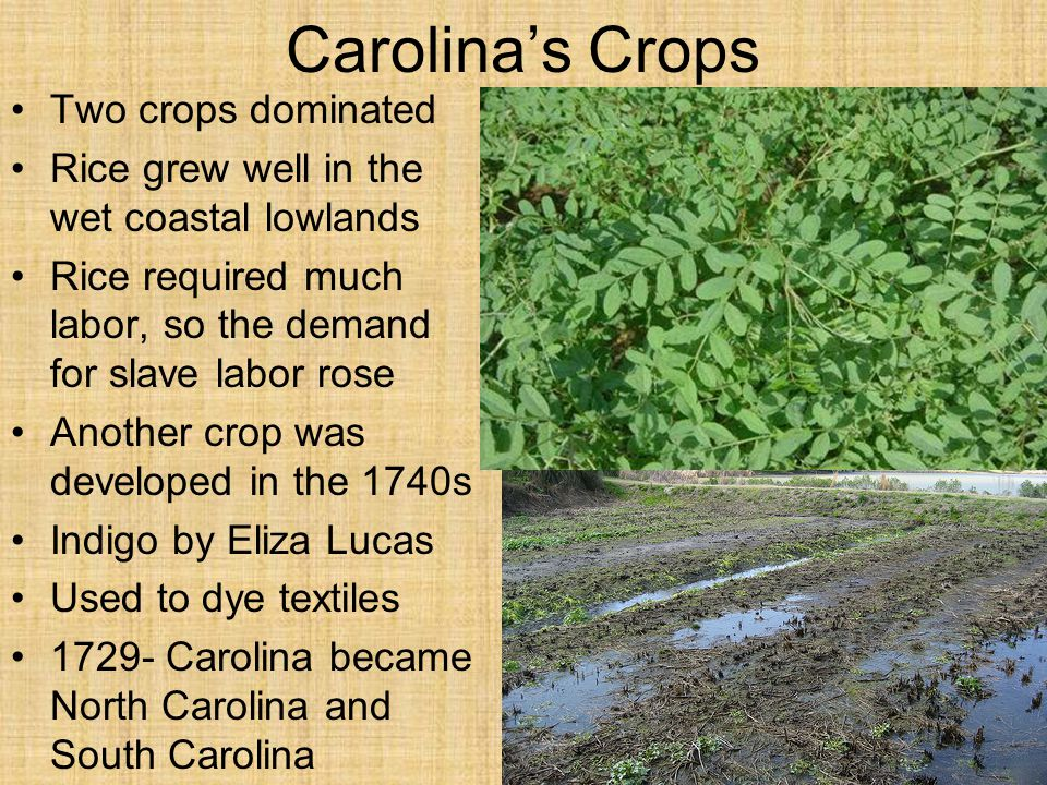 Carolina's Crops Two crops dominated Rice grew well in the wet coastal lowlands Rice required much labor, so the demand for slave labor rose Another c
