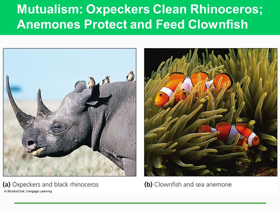 Mutualism: Oxpeckers Clean Rhinoceros; Anemones Protect and Feed Clownfish
