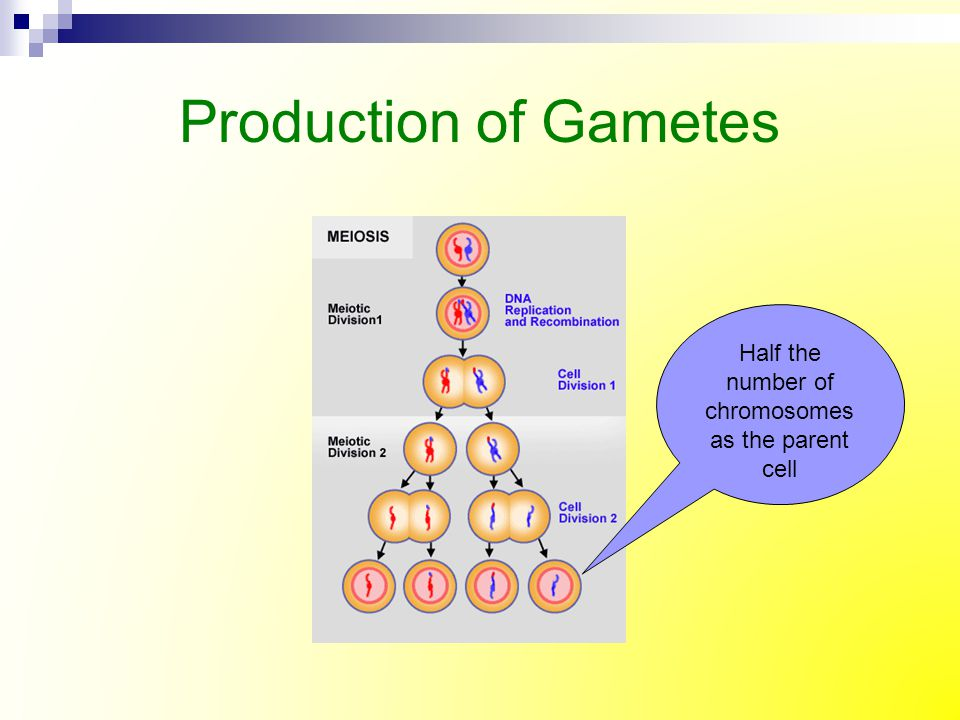 Production of Gametes Half the number of chromosomes as the parent cell