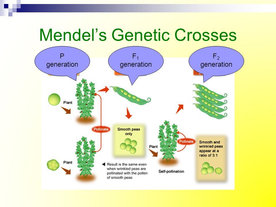 Mendel's Research on 1 Trait What is the phenotype ratio of F 2 generation.
