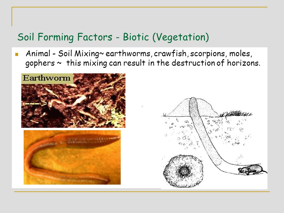 Soil Forming Factors - Biotic (Vegetation) Animal - Soil Mixing~ earthworms, crawfish, scorpions, moles, gophers ~ this mixing can result in the destruction of horizons.