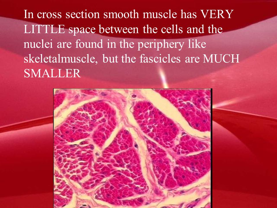 In cross section smooth muscle has VERY LITTLE space between the cells and the nuclei are found in the periphery like skeletalmuscle, but the fascicles are MUCH SMALLER
