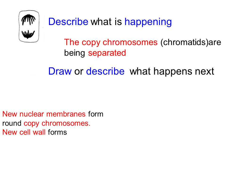 Describe what is happening Draw or describe what happens next The copy chromosomes (chromatids)are being separated New nuclear membranes form round copy chromosomes.