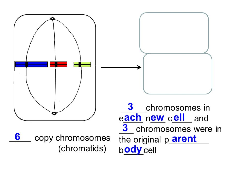 _______ copy chromosomes (chromatids) _____chromosomes in e____ n___ c____ and ___ chromosomes were in the original p________ b____cell 6 3 achewell 3