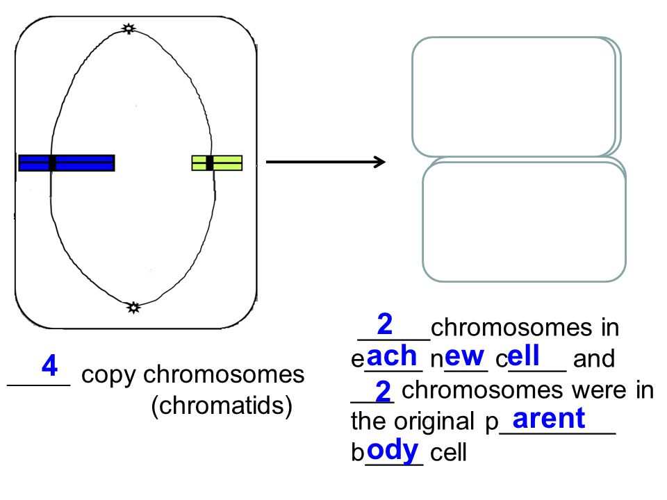 _______ copy chromosomes (chromatids) _____chromosomes in e____ n___ c____ and ___ chromosomes were in the original p________ b____ cell 4 2 achewell 2 arent ody