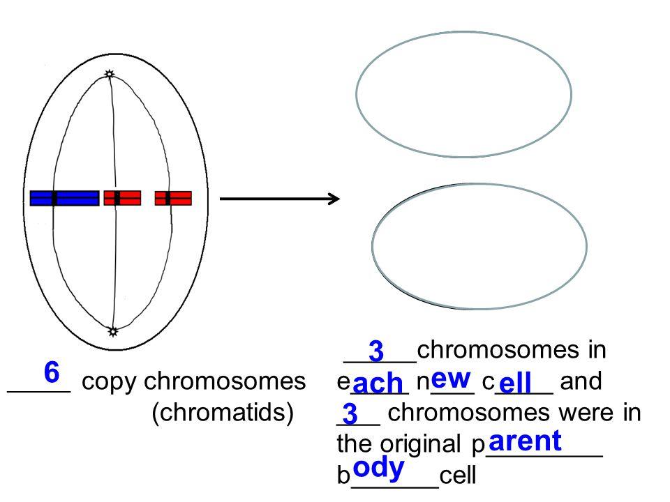 _______ copy chromosomes (chromatids) _____chromosomes in e____ n___ c____ and ___ chromosomes were in the original p________ b______cell 6 3 ach ew e