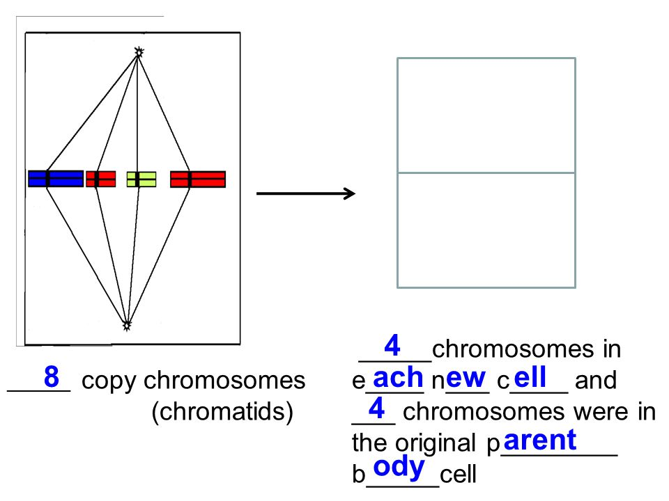 _______ copy chromosomes (chromatids) _____chromosomes in e____ n___ c____ and ___ chromosomes were in the original p________ b_____cell 8 4 achewell 4 arent ody