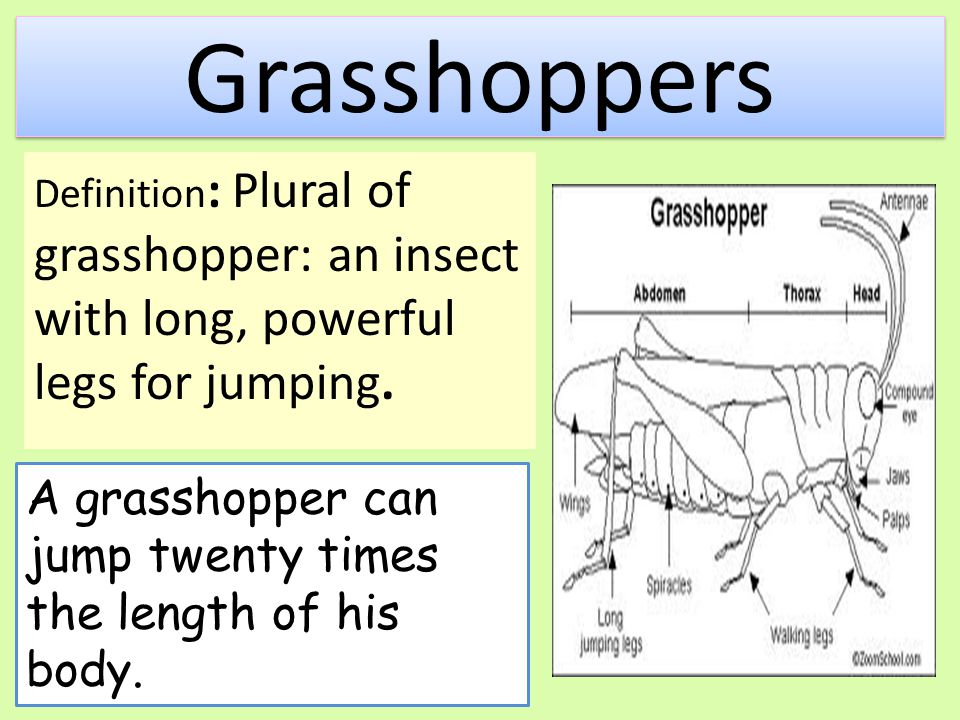 Grasshoppers A grasshopper can jump twenty times the length of his body.