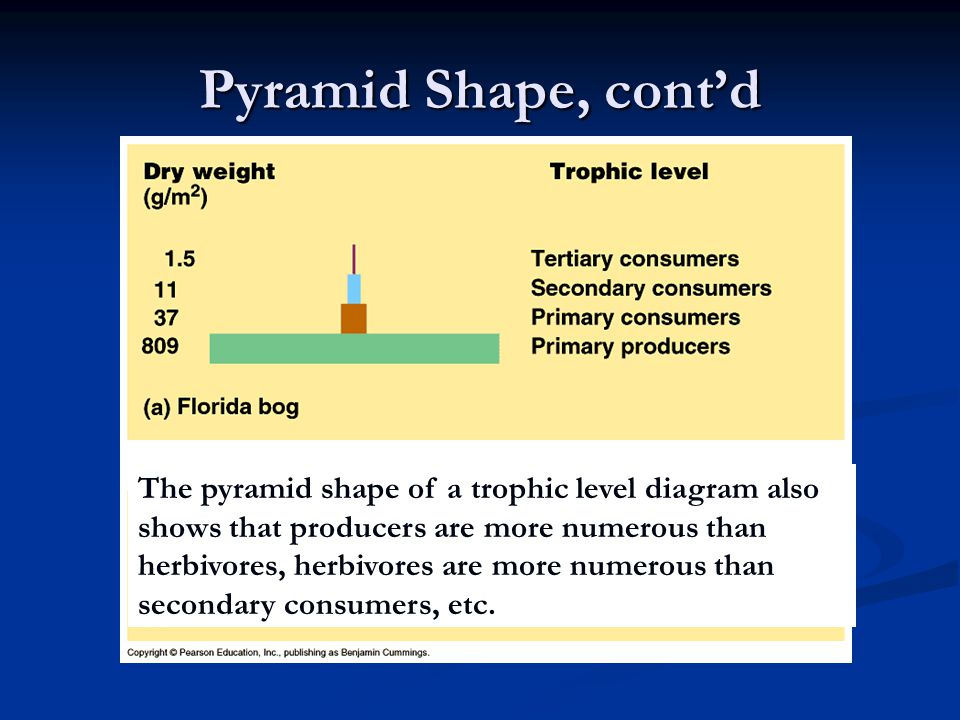 Pyramid Shape, cont'd The pyramid shape of a trophic level diagram also shows that producers are more numerous than herbivores, herbivores are more nu