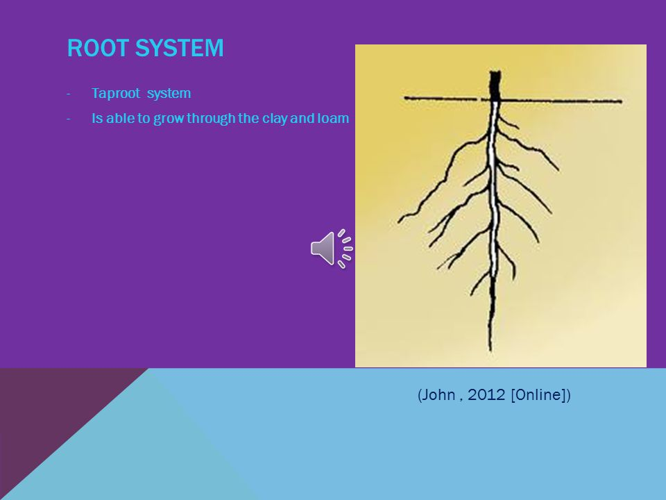 ROOT SYSTEM -Taproot system -Is able to grow through the clay and loam (John, 2012 [Online])