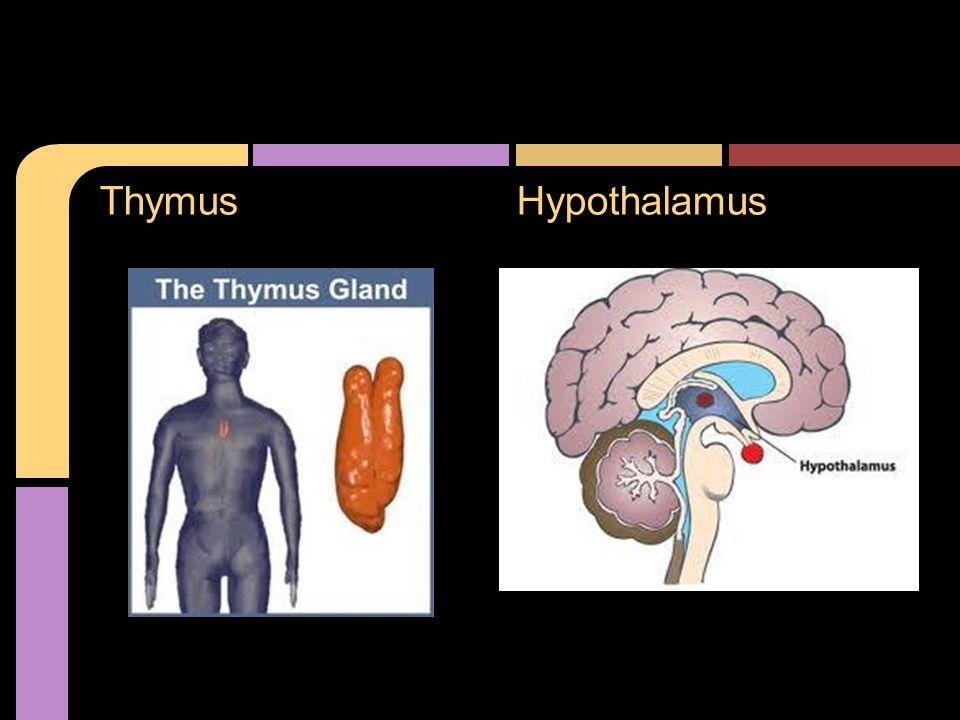 ThymusHypothalamus