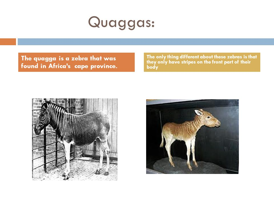 Quaggas: The quagga is a zebra that was found in Africa's cape province.