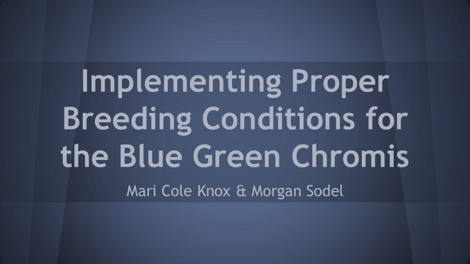 Why Blue Green Chromis.