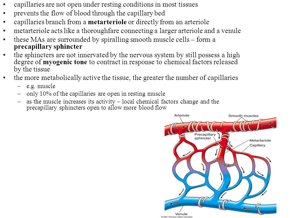 21-34 ECs fit together like a jigsaw puzzle with considerable gaps in between the cells = pores sizes vary from capillary to capillary brain capillaries have EC cells held together by tight junctions – no pores most tissue capillaries allow the passage of small water-soluble substances like but glucose, small amino acids and peptides and ions –prevents the passage of larger proteins like plasma proteins this transport may actually be regulated by the capillary itself –ECs may secrete substances that tighten up their junctions –histamine increases the gaps by inducing a contractile response in the EC and widening the gaps (actin-myosin interaction in the cytoskeleton) in the liver, the capillary walls have larger pores to allow the passage of proteins –liver synthesizes the plasma proteins which must be allowed to pass into the circulatory system