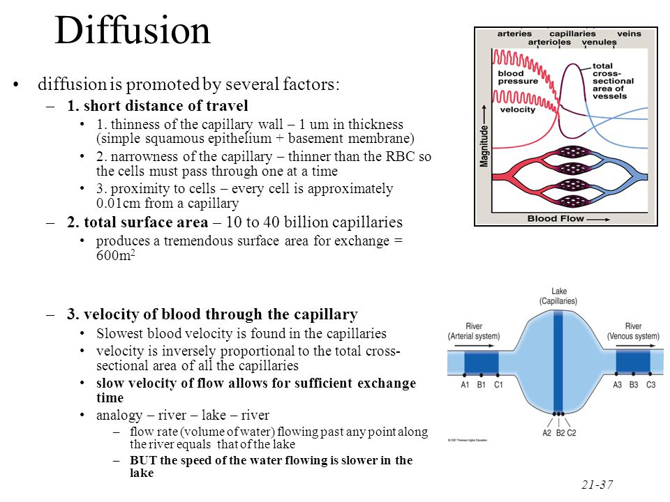 21-38 most capillary walls solutes cross via diffusion so the chemical concentration of arterial blood is carefully regulated to promote the diffusion of specific solutes in a specific direction the lungs add oxygen and remove carbon dioxide from the blood, the digestive organs supply glucose the cells use this oxygen and glucose and replace them with waste products the job of the blood is to continuously replace these waste products with fresh O2 and glucose because O2 and glucose pass easily through the walls of the capillary – their movement is dependent upon their specific concentration gradient as cells use more O2, this creates a larger concentration gradient between the cell and the blood – greater movement of O2