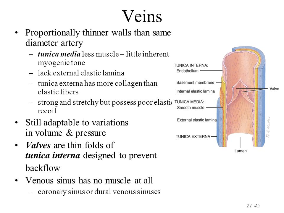 21-46 Blood Distribution 60% of blood volume at rest is in systemic veins and venules –function as blood reservoir –often called capacitance vessels –venous capacity = volume of blood the veins can accomodate –body at rest – much of the blood bypasses the closed capillary beds and enters the venous return circuit – this increases the blood volume in the veins 15% of blood volume in arteries & arterioles