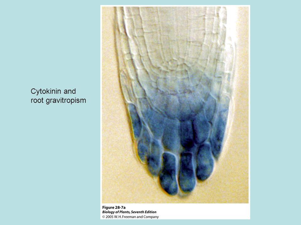 Cytokinin and root gravitropism