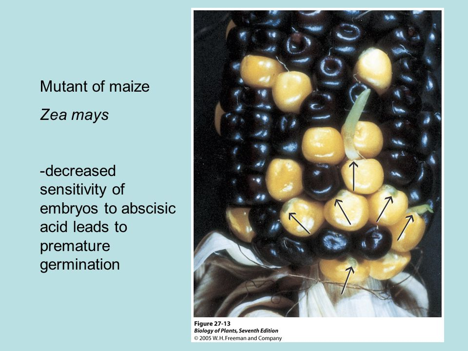 Mutant of maize Zea mays -decreased sensitivity of embryos to abscisic acid leads to premature germination