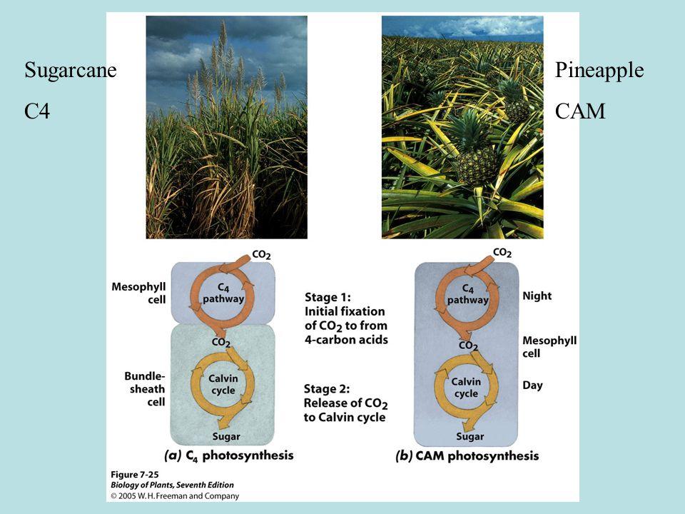 Sugarcane C4 Pineapple CAM