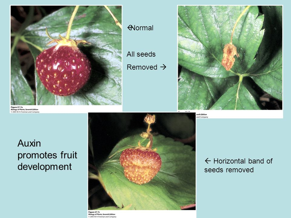  Normal All seeds Removed   Horizontal band of seeds removed Auxin promotes fruit development