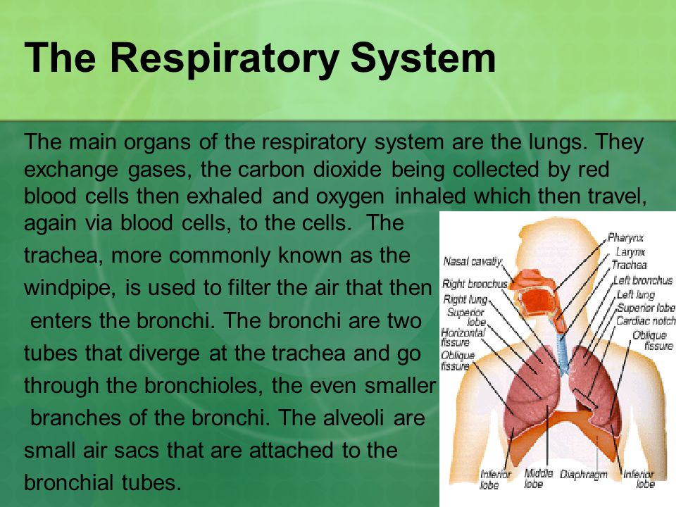 The Respiratory System The main organs of the respiratory system are the lungs.