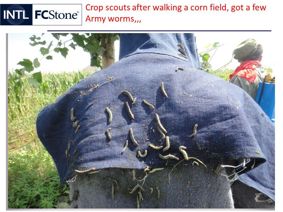 Crop scouts after walking a corn field, got a few Army worms,,,