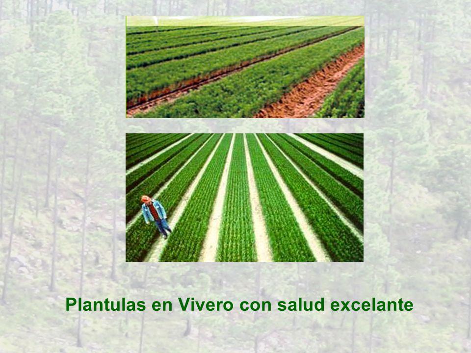 Plantulas en Vivero con salud excelante
