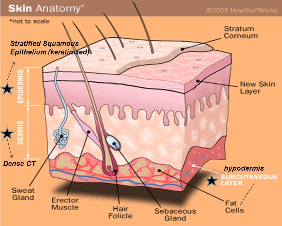 Stratified Squamous Epithelium (keratinized) Dense CT hypodermis